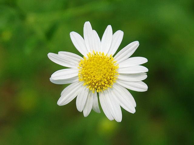 ユウガギク 柚香菊 ゆうがぎく Chrysanthemum