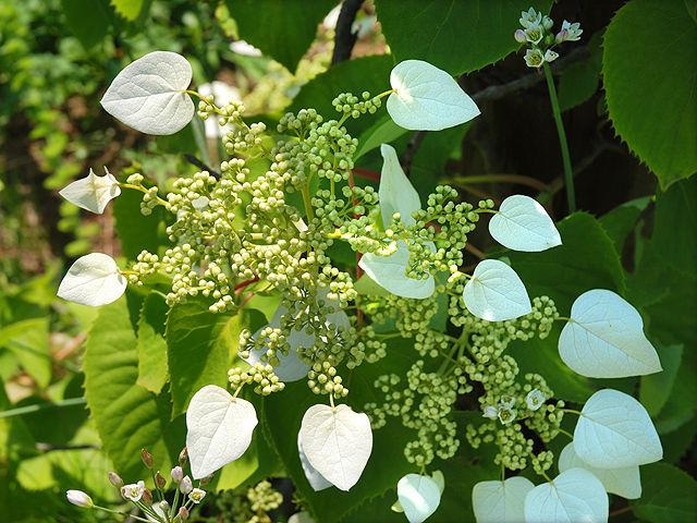 イワガラミ イワガラミ 岩絡み いわがらみ Hydrangeaceae