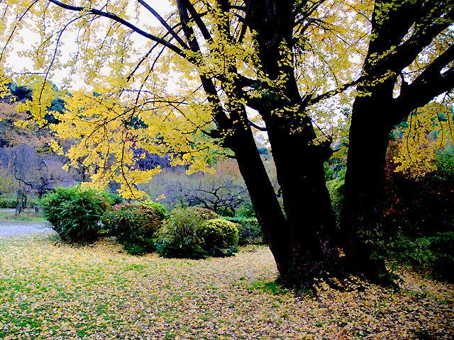風景 Landscape イチョウ イチョウ 銀杏 いちょう Ginkgo Maidenhair_Tree