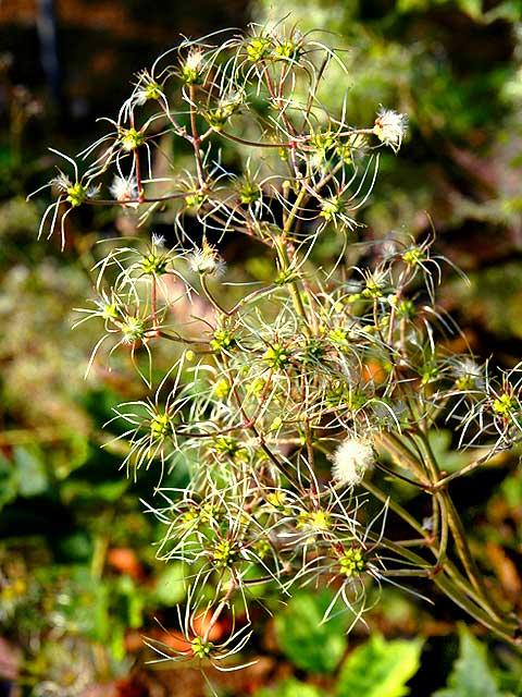 クサボタン 草牡丹 くさぼたん Clematis speciosa