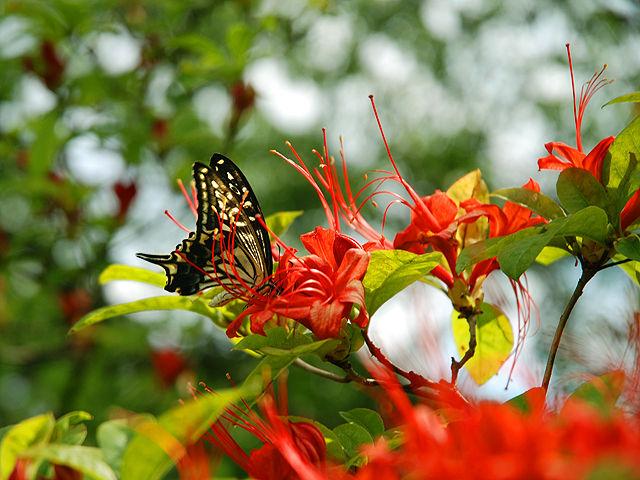 ナツザキツツジ ナツザキツツジ 夏咲き躑躅 Plum Leaf_Azalea