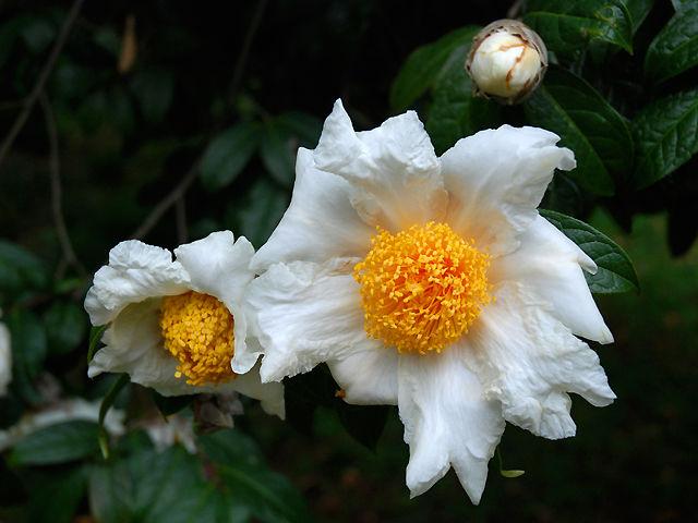グランサムツバキ グランサムツバキ グランサム椿 Granthams_camellia