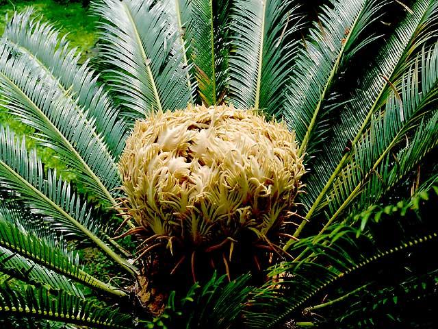 ソテツ 蘇鉄 そてつ Fern Palm Sago Palm
