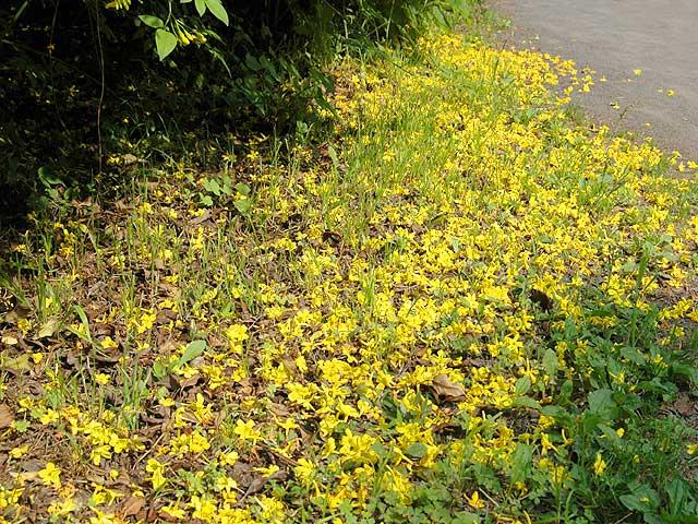 キソケイ(風景 Landscape) 黄素馨 きそけい Yellow Jasminum 風景 Landscape 南雲