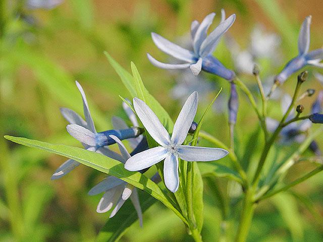 チョウジソウ 丁字草 ちょうじそう Japanese Bluestar 南雲 写真 植物図鑑