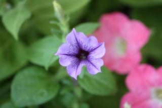 ペチュニア紫