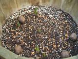チュリップの芽