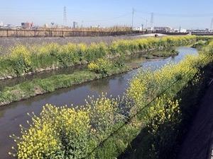 川沿いの菜の花