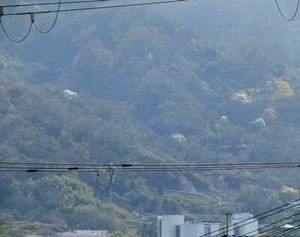 生駒山中腹の山桜