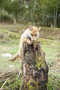 枯れ木に上るキツんさん