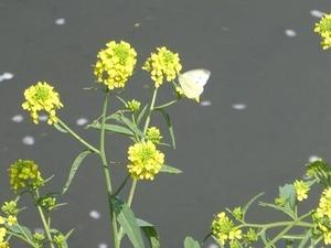 川辺の菜の花とモンシロチョウ