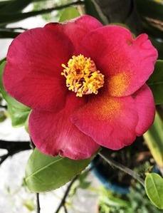 咲き出した王場の椿の花