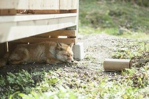 小屋の下で眠るキツネさん