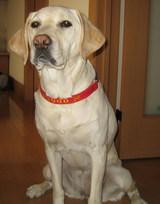 北海道盲導犬協会出身のラブラドール