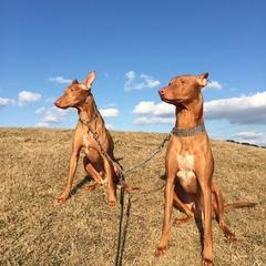 マルタ共和国の国犬でもあるファラオドッグの兄弟