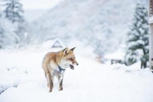 雪上のキツネさん2
