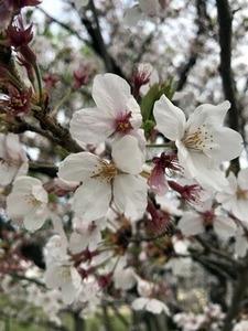 散り染めのソメイヨシノ桜