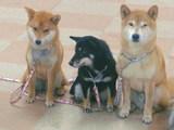 クリスマス柄のリードをした3柴犬