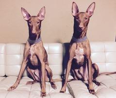 ファラオハウンドの兄弟犬