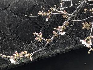 咲き出したソメイヨシノの桜の花