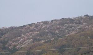 生駒山山頂の桜2021年