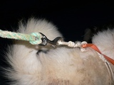 グリーンランドでの犬橇犬の写真1