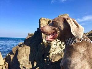 海辺で佇むワイマラナーのアーディ君