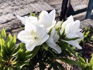 咲き始めた白いツツジの花
