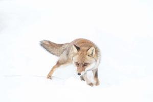 雪上のキツネさん1
