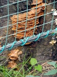 枯れた桜の根元近くに生えるキノコ