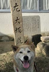柴犬ゆり2