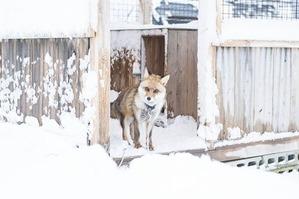 雪降る小屋のキツネさん2