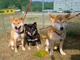 トンボ柄の手作りリードをしている3柴犬