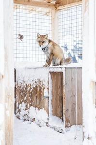 雪降る小屋のキツネさん1