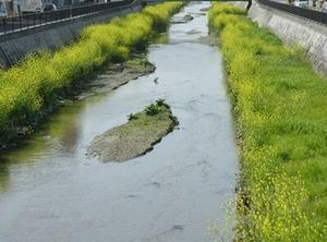 恩智川川辺の菜の花2021年