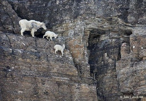 Mountain-Goat-Family-on-Cliff-588x407