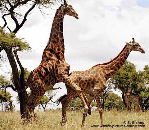 giraffe-wnr-sb_blog