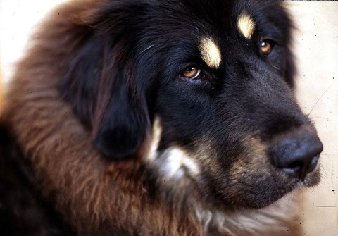 800px-Tibetan_Mastiff_001