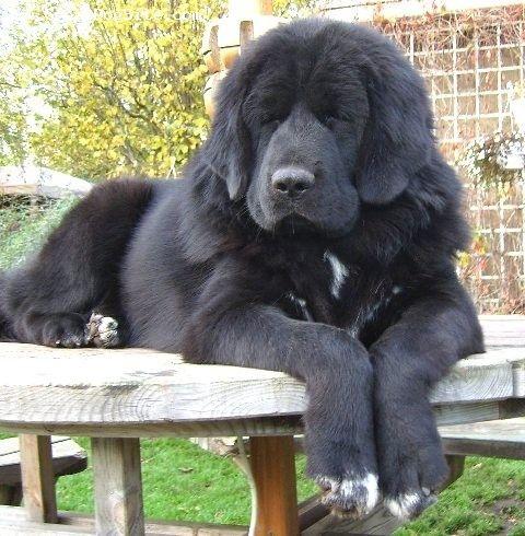 Tibetan Mastiff-8 Months-Black-1184049402