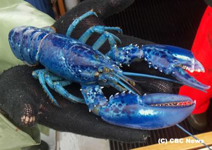 bluelobster2Jun11s