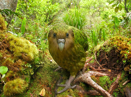 rare-birds-photo-contest-kakapo_32641_big