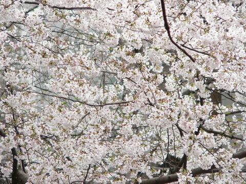 桜4月7日5