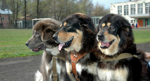 A-Tibetan-Mastiff