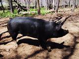 かわいい黒豚
