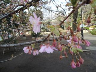 2.28山桜