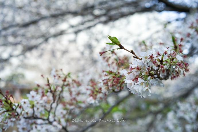 桜2020-1