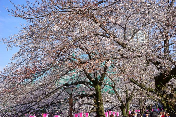 桜2019-16