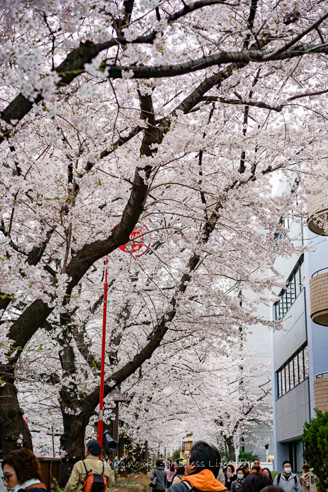 0404目黒川4月-6