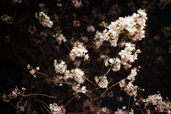 0401桜5