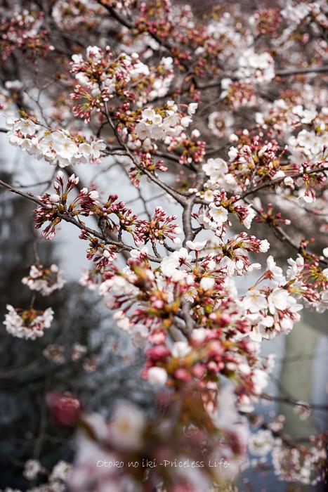 0330桜23月-2